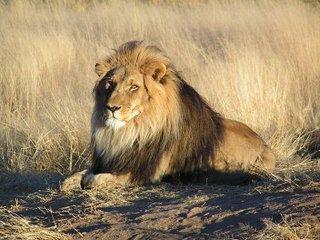Львы нападают на людей после полнолуния