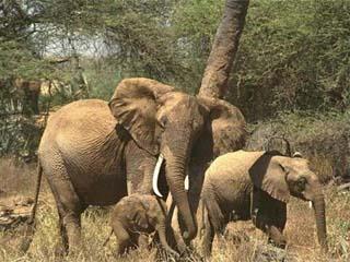Индийские слоны — социальные животные