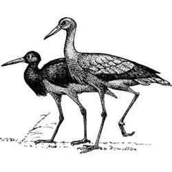 Аист — птица, картинка чёрно-белая