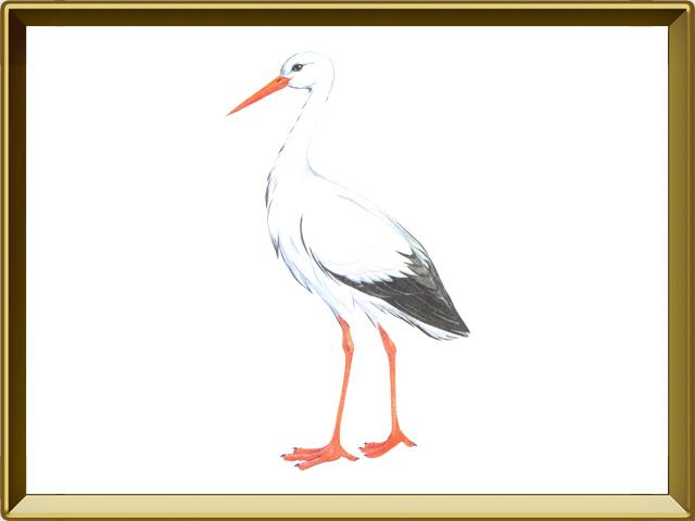 Аист — птица, фото в рамке №1