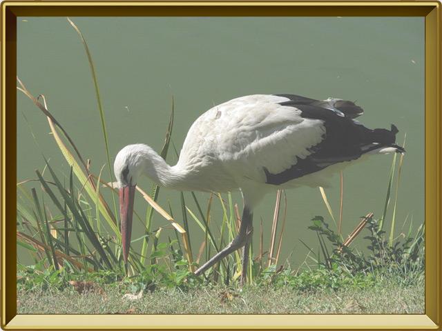 Аист — птица, фото в рамке №2