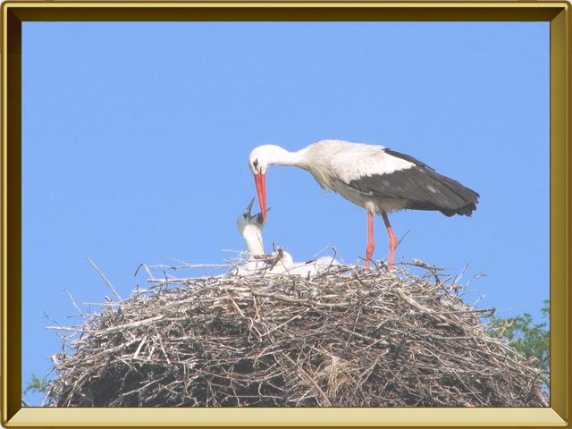 Аист — птица, фото в рамке №3