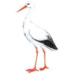 Аист — птица, картинка цветная