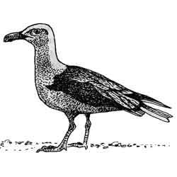 Альбатрос — птица, картинка чёрно-белая