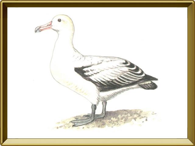 Альбатрос — птица, фото в рамке №1