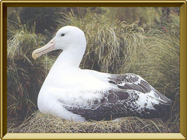 Альбатрос — птица, фото в рамке №2