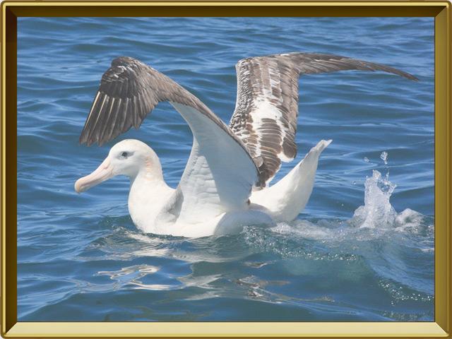 Альбатрос — птица, фото в рамке №3