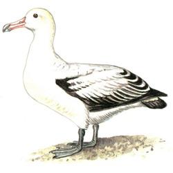 Альбатрос — птица, картинка цветная