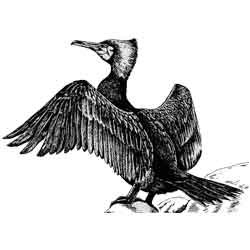 Баклан — птица, картинка чёрно-белая