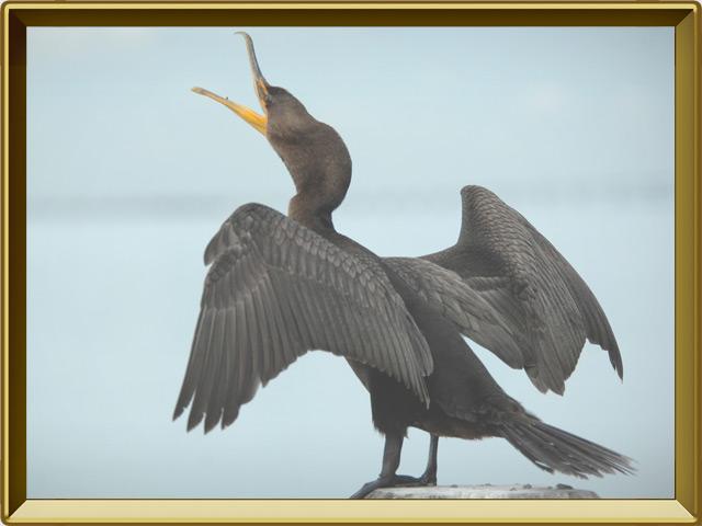 Баклан — птица, фото в рамке №2