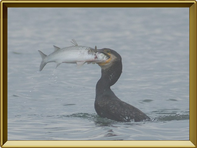 Баклан — птица, фото в рамке №3