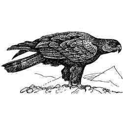 Беркут — птица, картинка чёрно-белая