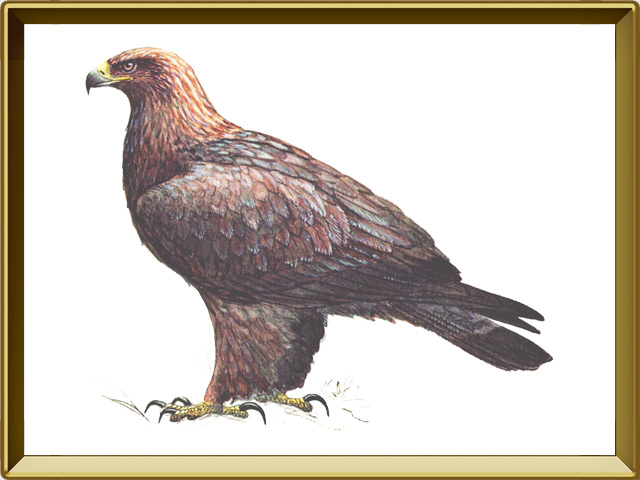 Беркут — птица, фото в рамке №1