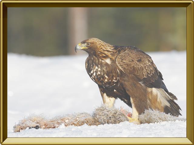 Беркут — птица, фото в рамке №2