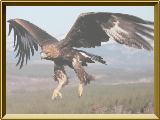 Беркут — птица, фото в рамке №3