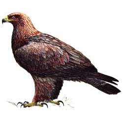 Беркут — птица, картинка цветная