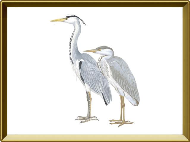 Цапля — птица, фото в рамке №1
