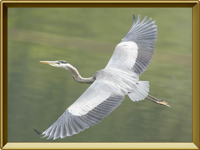 Цапля — птица, фото в рамке №3
