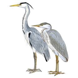 Цапля — птица, картинка цветная
