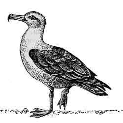 Чайка — птица, картинка чёрно-белая