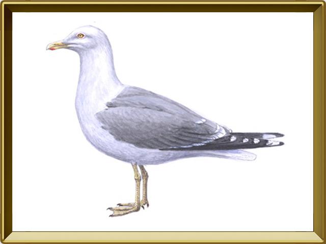 Чайка — птица, фото в рамке №1