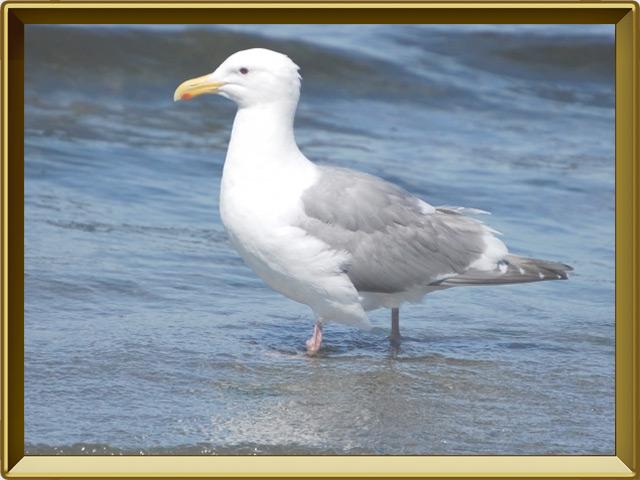 Чайка — птица, фото в рамке №2
