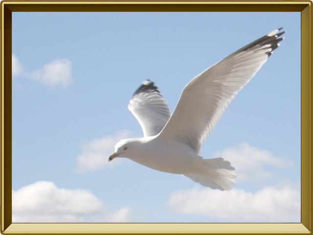 Чайка — птица, фото в рамке №3