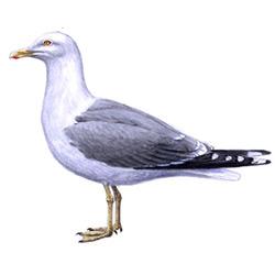 Чайка — птица, картинка цветная