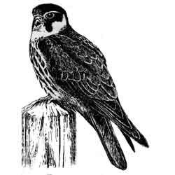 Чеглок — птица, картинка чёрно-белая