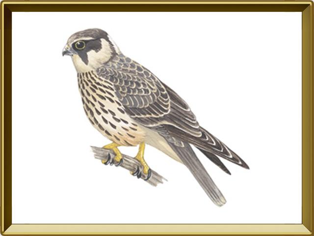 Чеглок — птица, фото в рамке №1