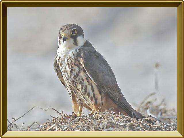 Чеглок — птица, фото в рамке №2