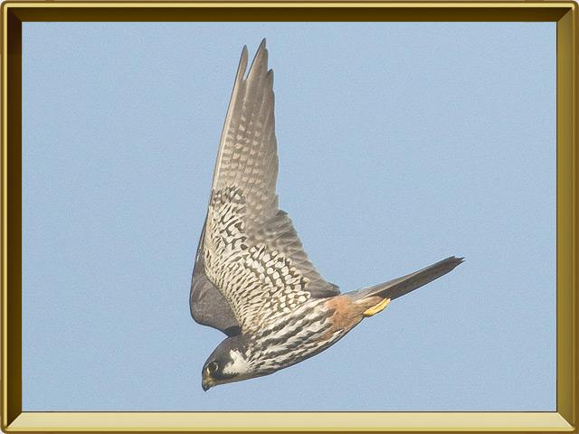 Чеглок — птица, фото в рамке №3