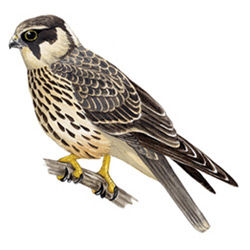 Чеглок — птица, картинка цветная
