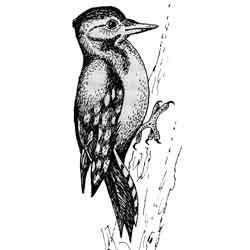 Дятел — птица, картинка чёрно-белая