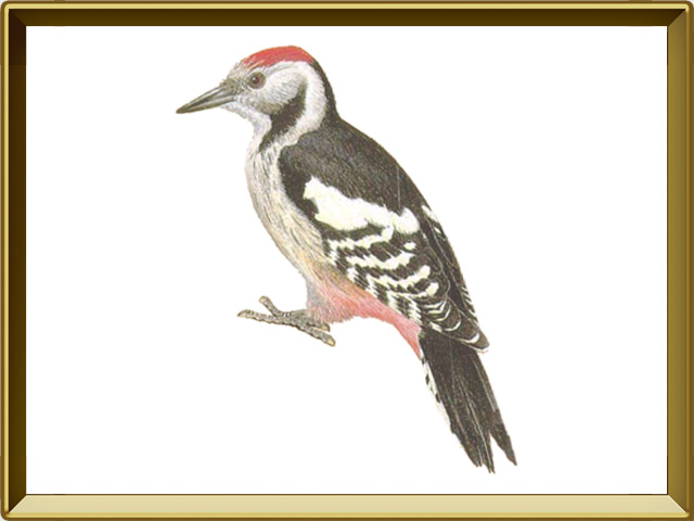 птица дятел описание и фото