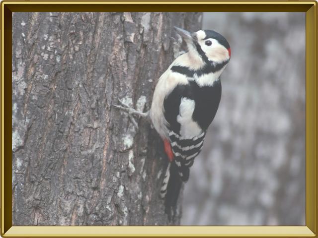 Дятел — птица, фото в рамке №2