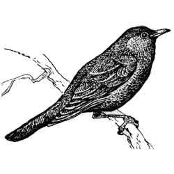 Дрозд — птица, картинка чёрно-белая