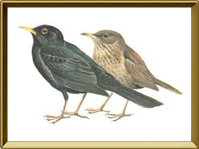 Дрозд — птица, фото в рамке №1