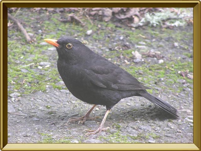 Дрозд — птица, фото в рамке №2