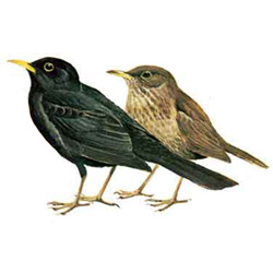 Дрозд — птица, картинка цветная
