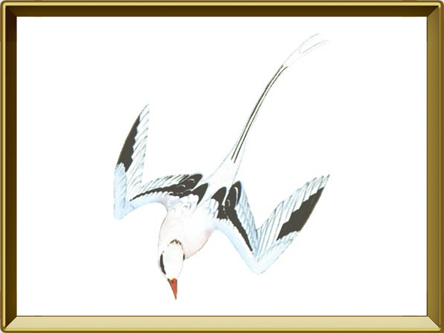Фаэтон — птица, фото в рамке №1
