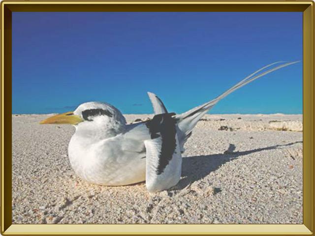 Фаэтон — птица, фото в рамке №2