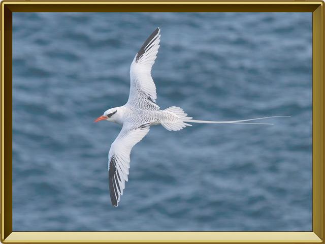 Фаэтон — птица, фото в рамке №3