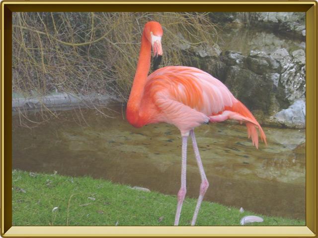 Фламинго — птица, фото в рамке №2