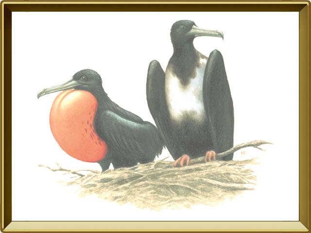 Фрегат — птица, фото в рамке №1