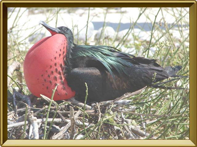 Фрегат — птица, фото в рамке №2