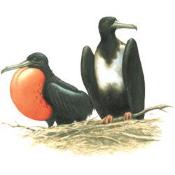 Фрегат — птица, картинка цветная