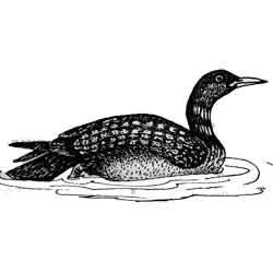 Гагара — птица, картинка чёрно-белая