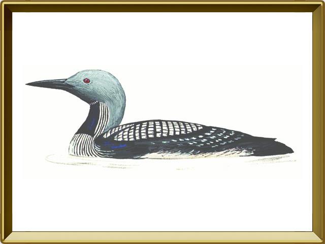 Гагара — птица, фото в рамке №1