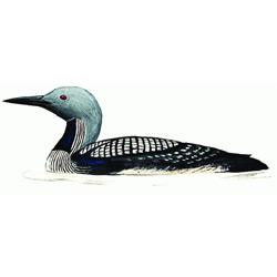 Гагара — птица, картинка цветная